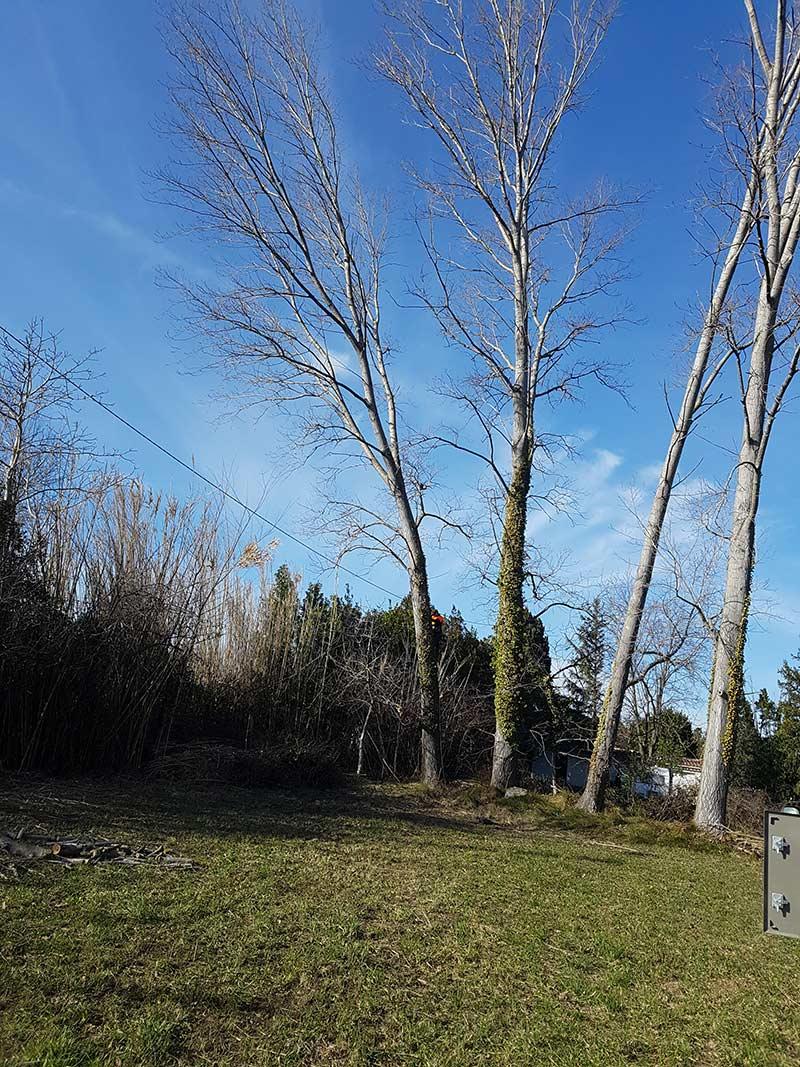 Abattage de grands arbres