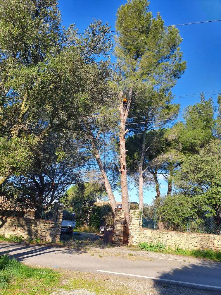 Abattage de grands pins dangereux